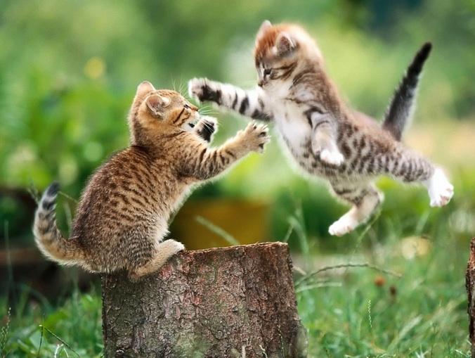 kittens-play