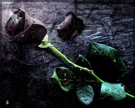 Lovely-sad-black-rose-for-sadness