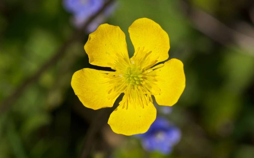 Beautiful-Yellow-Buttercup-Flower