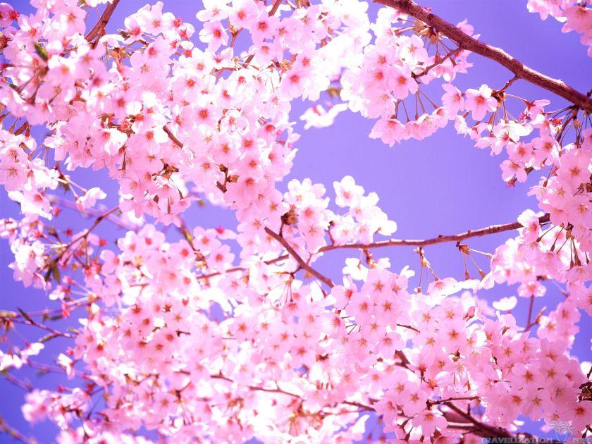 cherry-blossom-flowers-2