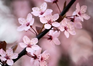 cherry-blossoms-flowers-1