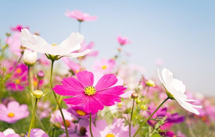 daisies-best-flowers