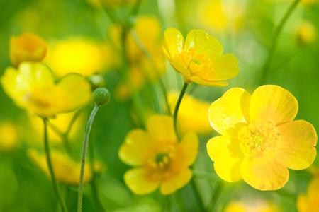 summerday-flower-buttercup